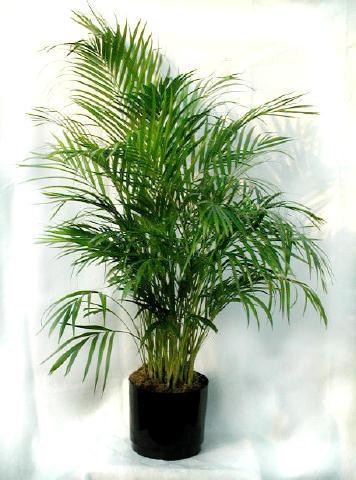 majesty palm soil, majesty palm plant, majesty palm hedge, majesty palm fertilizer, majesty palm tree, majesty palm leaves, majesty palm flower, majesty palm family, majesty palm indoor, on majesty palm house plant